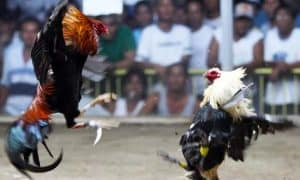 Philippine cockfighting