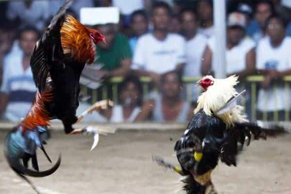 Philippine cockfighting